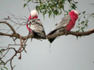 Galah wildlife at Mistral Hill